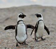 Pinguins africanos Imagens de Stock