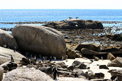 Pinguins africanos foto de stock