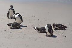 Pinguins africanos foto de stock royalty free