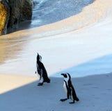 Pinguins africanos do pinguim (demersus do Spheniscus), cabo ocidental, África do Sul foto de stock