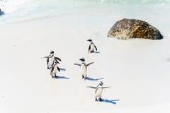 Pinguins africanos em Simons Town, África do Sul Fotografia de Stock
