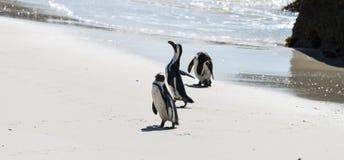 Pinguins africanos em Simonstown (África do Sul) imagens de stock royalty free