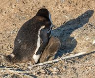 Pinguins africanos fotografia de stock royalty free