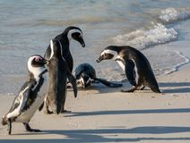 Pinguins africanos imagem de stock royalty free