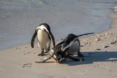 Pinguins africanos imagem de stock