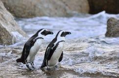 Pinguins africanos na costa no crepúsculo da noite fotografia de stock