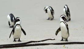 Pinguins africanos na praia Fotos de Stock Royalty Free
