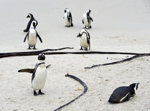 Pinguins africanos na praia Fotografia de Stock Royalty Free