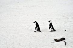 Pinguins africanos na praia dos pedregulhos fotos de stock royalty free