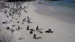 Pinguins africanos no ambiente natural Fotos de Stock Royalty Free