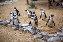 Pinguins africanos no jardim zoológico de Tbilisi, o mundo dos animais fotos de stock royalty free