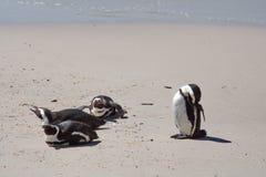Pinguins africanos que encontram-se para baixo foto de stock