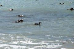 Pinguins africanos que nadam fotografia de stock