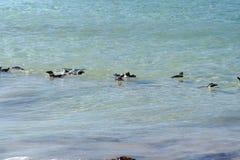 Pinguins africanos que nadam fotografia de stock royalty free