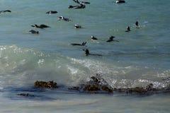 Pinguins africanos que nadam imagem de stock royalty free
