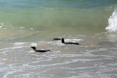 Pinguins africanos que nadam imagem de stock