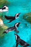 Pinguins africanos que nadam imagens de stock royalty free