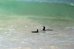 Pinguins africanos que nadam fotos de stock royalty free