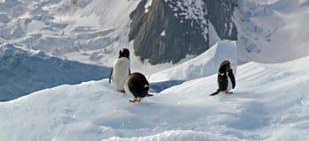Pinguins antárcticos de Gentoo Foto de Stock
