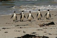 Pinguins auf Patrouille Stockfotografie