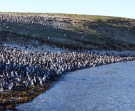 Pinguins av Magellan i Chile Royaltyfria Bilder
