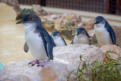 Pinguins azuis pequenos fotografia de stock
