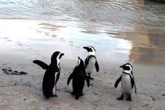 Pinguins bonitos de África na conversação foto de stock