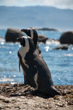 Two Penguins in africa Stock Image