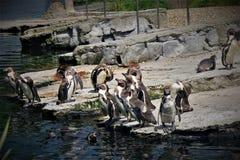 Pinguins in Chester Zoo, in het UK Stock Fotografie