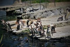 Pinguins in Chester Zoo, nel Regno Unito Fotografia Stock