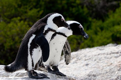 Pinguins couple Stock Photography