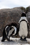 Pinguins couple Royalty Free Stock Image