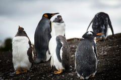 Pinguins curiosos fotos de stock