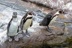 Pinguins curiosos de Humboldt fotos de stock