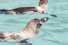 Pinguins da natação Imagens de Stock