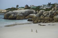Pinguins da praia dos pedregulhos Fotos de Stock