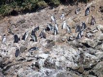 Pinguins dans le punihuil de réservation sur l'île de chiloe en piment Photos stock