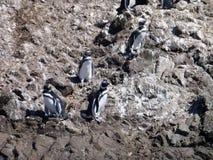 Pinguins dans le punihuil de réservation sur l'île de chiloe en piment Images stock