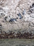 Pinguins dans le punihuil de réservation sur l'île de chiloe en piment Photos libres de droits