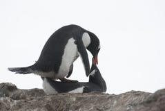Pinguins de acoplamento. imagens de stock