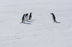 Pinguins de Adélie Imagens de Stock Royalty Free