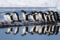 Pinguins de Adélie Imagens de Stock