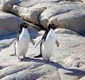 Pinguins de Adelie fotografia de stock