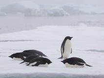 Pinguins de Adelie em continente antárctico Imagens de Stock