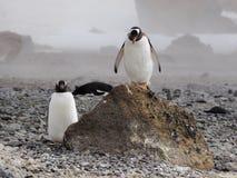 Pinguins de Adelie em continente antárctico Fotos de Stock Royalty Free