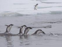 Pinguins de Adelie em continente antárctico Fotografia de Stock Royalty Free