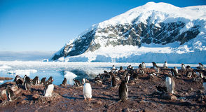 Pinguins de Adelie na praia de Continente antárctico imagem de stock royalty free