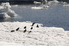 Pinguins de Adelie no floe de gelo Imagens de Stock Royalty Free