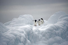Pinguins de Adelie no gelo, mar de Weddell, Anarctica Imagem de Stock