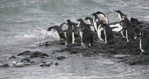 Pinguins de Adelie que saltam na água Fotografia de Stock Royalty Free